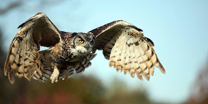 owl in flight looks at camera