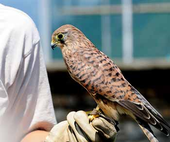 a hawk perched on a gloved hand
